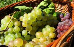 Őszi szőlősaláta